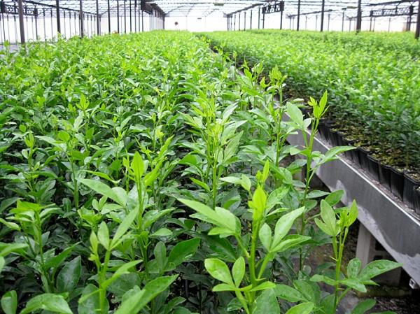 plant genetic resources research institute  koforidua